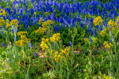 A Beautiful Field Blanketed with the Famous Texas Bluebonnets. A Wide Angle View of a Beautiful Field Blanketed with the Famous Texas Bluebonnet (Lupinus Stock Photography