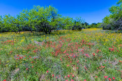 A Beautiful Field Blanketed with Various Texas Wildflowers Stock Photos