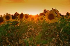 Beautiful field with blooming sunflowers at sunset. Field with sunflower In the rays of the setting sun stock image