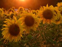 Beautiful field with blooming sunflowers at sunset. Field with sunflower In the rays of the setting sun stock photography