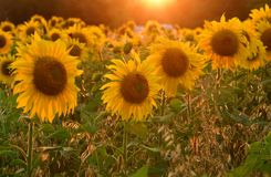 Beautiful field with blooming sunflowers at sunset. Field with sunflower In the rays of the setting sun stock photo