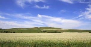 Beautiful field of buckwheat Stock Image