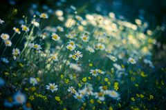 Beautiful field with camomile at the sunset Stock Photos