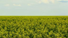 Beautiful Field Of Canola stock video