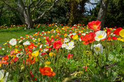 Beautiful field of colorful poppies Royalty Free Stock Image