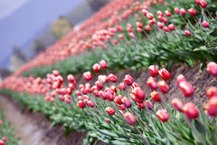 Beautiful field of colorful tulips Stock Images