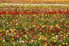 Beautiful field of colorful tulips. Royalty Free Stock Photography