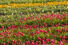Beautiful field of colorful tulips. Royalty Free Stock Images