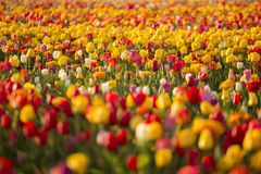 Beautiful field of colorful tulips. Stock Images