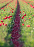 Beautiful field of colorful tulips. Royalty Free Stock Photo