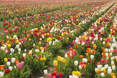 Beautiful field of colorful tulips in spring time. royalty free stock photos