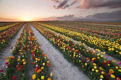 Beautiful field of colorful tulips at sunset Royalty Free Stock Images