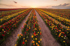 Beautiful field of colorful tulips at sunset Royalty Free Stock Photos