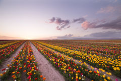 Beautiful field of colorful tulips at sunset Stock Photography