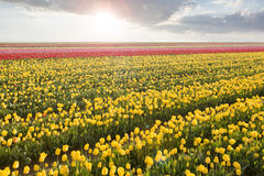 Beautiful field of colorful tulips at sunset Stock Photos