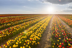 Beautiful field of colorful tulips at sunset Royalty Free Stock Photography