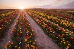 Beautiful field of colorful tulips at sunset Royalty Free Stock Image