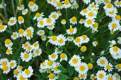 Beautiful field daisies as background. Top view stock photos