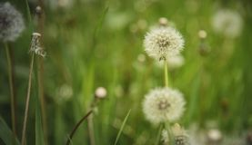 Dandelion field and tall green grass Royalty Free Stock Image