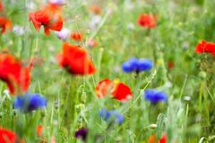 Beautiful field filled with poppies royalty free stock photography