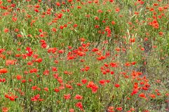 Beautiful field filled with red poppies royalty free stock photos