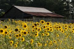 The beautiful field filled with sunflowers royalty free stock photography