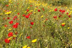 A beautiful field full of red poppy flowers and yellow chamomiles royalty free stock image