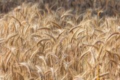 Beautiful field - golden ripe rye in sun Stock Images