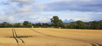 Beautiful field with harvest of wheat in irish Stock Image