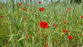 A beautiful field with a lot of various grass - spikelets and poppy flowers. Morning walk on a beautiful field in the countryside.  stock video