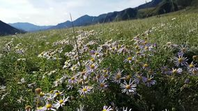 Beautiful field with lots of purple daisies. Mountains are visible in the background. Large flowering meadow with flying insects stock video footage