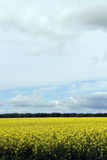 Beautiful Field of Manitoba Canola Stock Photos