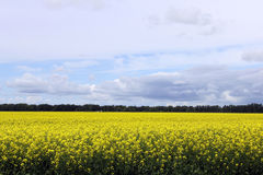 Beautiful Field of Manitoba Canola 2 Stock Photo