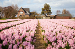 Beautiful field of pink hyacinths in Holland Royalty Free Stock Images