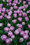 Beautiful field of pink tulips royalty free stock photos