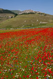 Beautiful field of poppies Royalty Free Stock Images