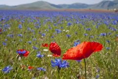 Beautiful field of poppies. This is a beautiful field of poppies in the plain of Castelluccio di Norcia, Umbria, Italy. In this land they are cultivated the Royalty Free Stock Images