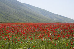 Beautiful field of poppies. This is a beautiful field of poppies in the plain of Castelluccio di Norcia, Umbria, Italy. In this land they are cultivated the Royalty Free Stock Photos