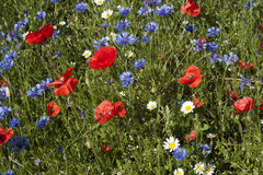 Beautiful field of poppies Stock Images