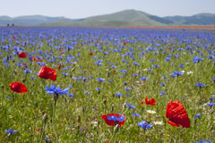 Beautiful field of poppies. This is a beautiful field of poppies in the plain of Castelluccio di Norcia, Umbria, Italy. In this land they are cultivated the Stock Photos