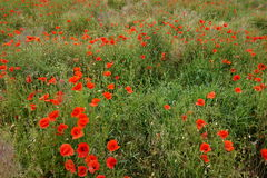 Beautiful field of poppies. Sea of poppies in a field Stock Photography