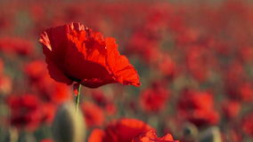 Beautiful Field Poppy Swaying On Breeze