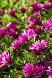 Beautiful field of purple daisies. Summer beauty with beautiful purple daisy Stock Photography