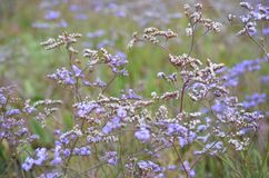Beautiful field of purple flower Vervain Bonariensis or Purpletop Vervain under a bright sky stock images