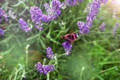 Beautiful field with purple lavender flowers. On which a colorful butterfly sits Royalty Free Stock Photography