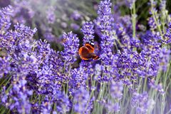 Beautiful field with purple lavender flowers. On which a colorful butterfly sits Royalty Free Stock Photo