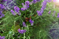 Beautiful field with purple lavender flowers. On which a colorful butterfly sits Royalty Free Stock Images