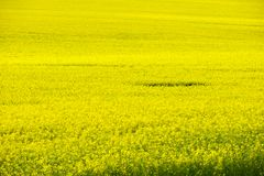 Beautiful field of rapeseed in spring time Royalty Free Stock Photography