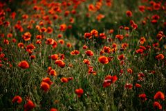 Beautiful field of red poppies stock photos