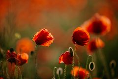 Beautiful field of red poppies in the evening light stock photos